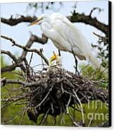 Great Egret Chicks - Sibling Rivalry Canvas Print by Carol Groenen