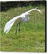Great Egret Landing Canvas Print by Theresa Willingham