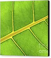 Green Leaf Close Up Canvas Print by Elena Elisseeva