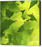 Green Maple Leaves Canvas Print by Elena Elisseeva