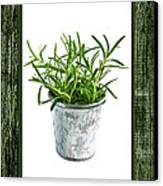 Green Rosemary Herb In Small Pot Canvas Print by Elena Elisseeva