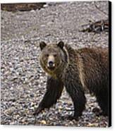 Grizzly Bear Canvas Print by Charles Warren