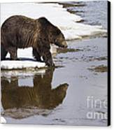 Grizzly Bear Stepping Into Water Canvas Print by Mike Cavaroc