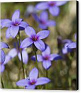 Happy Tiny Bluet Wildflowers Canvas Print by Kathy Clark