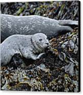 Harbor Seal Pup Resting Canvas Print by Suzi Eszterhas