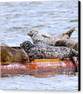 Harbour Seals Lounging Canvas Print by Sharon Talson