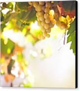 Harvest Time. Sunny Grapes I Canvas Print by Jenny Rainbow