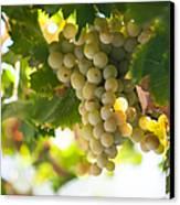 Harvest Time. Sunny Grapes Iv Canvas Print by Jenny Rainbow