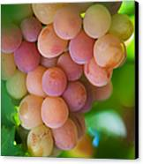Harvest Time. Sunny Grapes Canvas Print by Jenny Rainbow
