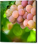 Harvest Time. Sunny Grapes Viii Canvas Print by Jenny Rainbow