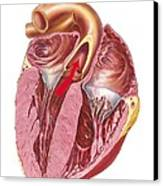 Heart Anatomy, Artwork Canvas Print by Science Photo Library