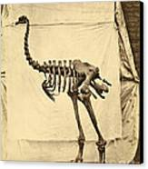 Heavy Footed Moa Skeleton Canvas Print by Getty Research Institute