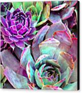 Hens And Chicks Series - Urban Rose Canvas Print by Moon Stumpp