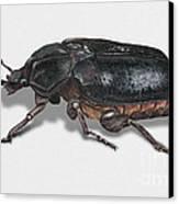 Hermit Beetle - Russian Leather Beetle - Osmoderma Eremita - Pique Prune - Erakkokuoriainen Canvas Print by Urft Valley Art