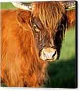 Highland Cow Canvas Print by Brian Jannsen