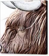 Highland Cow Color Canvas Print by John Farnan