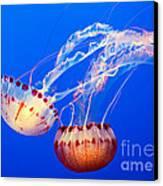 Jelly Dance - Large Jellyfish Atlantic Sea Nettle Chrysaora Quinquecirrha. Canvas Print by Jamie Pham