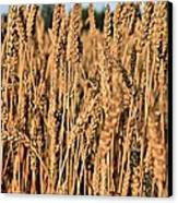Just Wheat  Canvas Print by JC Findley