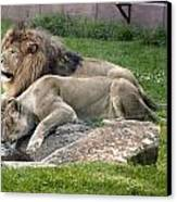 Leo And Una - Twin Male And Female Lions At The University Of North Alabama Canvas Print by Carol M Highsmith