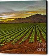 Lettuce Sunrise Canvas Print by Robert Bales