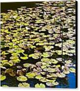 Lilly Pads Canvas Print by David Pyatt