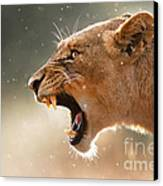 Lioness Displaying Dangerous Teeth In A Rainstorm Canvas Print by Johan Swanepoel