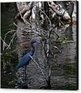 Little Blue Heron Canvas Print by Skip Willits
