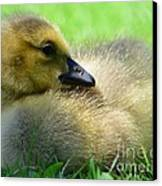 Little One Canvas Print by Kathleen Struckle