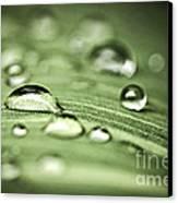 Macro Raindrops On Green Leaf Canvas Print by Elena Elisseeva
