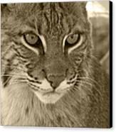 Male Bobcat - Sepia Canvas Print by Jennifer  King