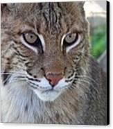 Male Bobcat1 Canvas Print by Jennifer  King
