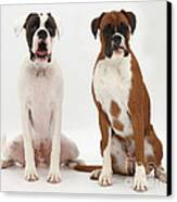 Male Boxer With Female Boxer Dog Canvas Print by Mark Taylor