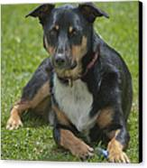 Max Kelpie Border Collie Cross Canvas Print by Patrick OConnell