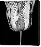 Monochrome Streaked Tulip Canvas Print by Oscar Gutierrez