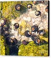 Monterey Bay Tide Pools Canvas Print by Artist and Photographer Laura Wrede