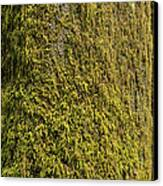 Moss Covered Tree Olympic National Park Canvas Print by Steve Gadomski