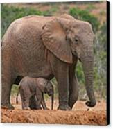 Mother And Calf Canvas Print by Bruce J Robinson