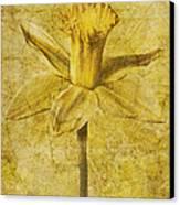 Narcissus Pseudonarcissus Canvas Print by John Edwards