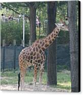 National Zoo - Giraffe - 12124 Canvas Print by DC Photographer