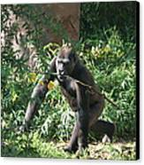 National Zoo - Gorilla - 121220 Canvas Print by DC Photographer