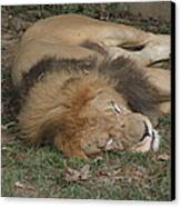 National Zoo - Lion - 12121 Canvas Print by DC Photographer