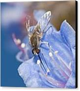 Nemestrinid Fly Feeding Canvas Print by Science Photo Library
