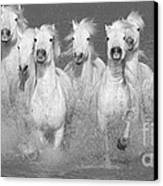Nine White Horses Run Canvas Print by Carol Walker