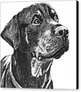 Noble Rottweiler Sketch Canvas Print by Kate Sumners
