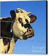 Normand Cow Canvas Print by Bernard Jaubert