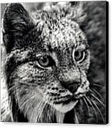 North American Lynx In The Wild. Canvas Print by Bob Orsillo