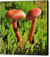 North Cascades Mushrooms Canvas Print by Benjamin Yeager