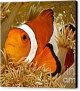 Ocellaris Clown Fish No 1 Canvas Print by Jerry Fornarotto