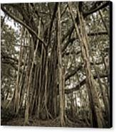 Old Banyan Tree Canvas Print by Adam Romanowicz