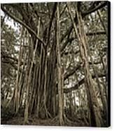 Old Banyan Tree Canvas Print by Adam Romanowicz